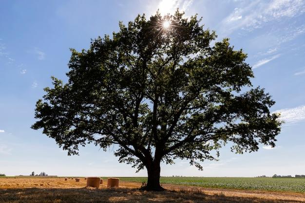 Chêne vert et un champ agricole avec de la paille épineuse de blé