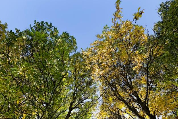 Chênes à feuilles caduques