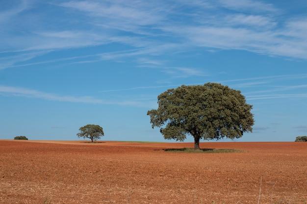 Chênes verts solitaires