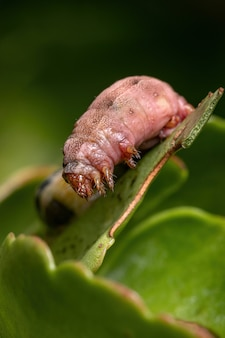 Chenille du genre spodoptera gravement blessée