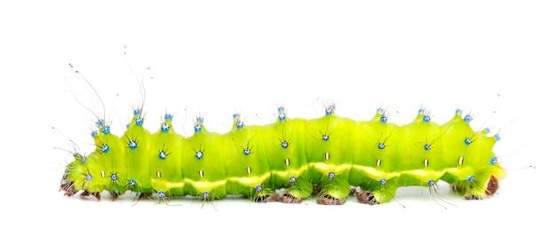 Chenille du papillon géant du paon, saturnia pyri, contre l'espace blanc
