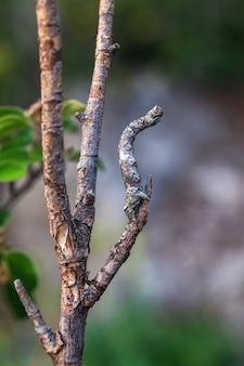 La chenille du papillon imite une branche d'arbre comme un bâton