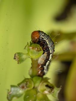 Chenille de l'ordre des lépidoptères mangeant une plante pourpier commun de l'espèce portulaca oleracea