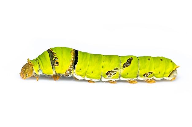 Chenille de papillon de chaux isolée. insecte. animal. ver vert