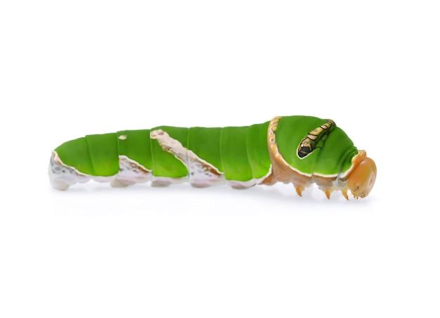 Chenille verte isolée sur blanc