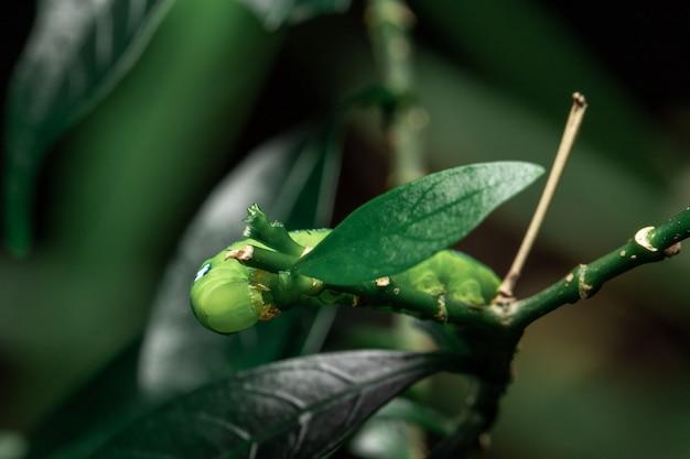 Chenille verte mangeant une feuille dans le jardin