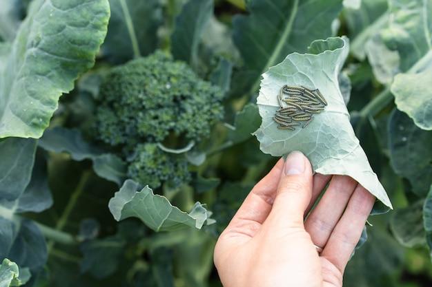 Chenilles sur une feuille de brocoli