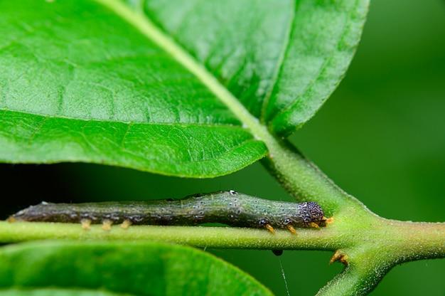 Chenilles ravageurs sur les feuilles