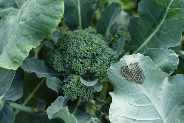 Les chenilles sont des ravageurs sur le chou brocoli
