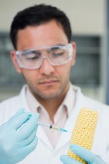 Chercheur scientifique injectant un épi de maïs au laboratoire