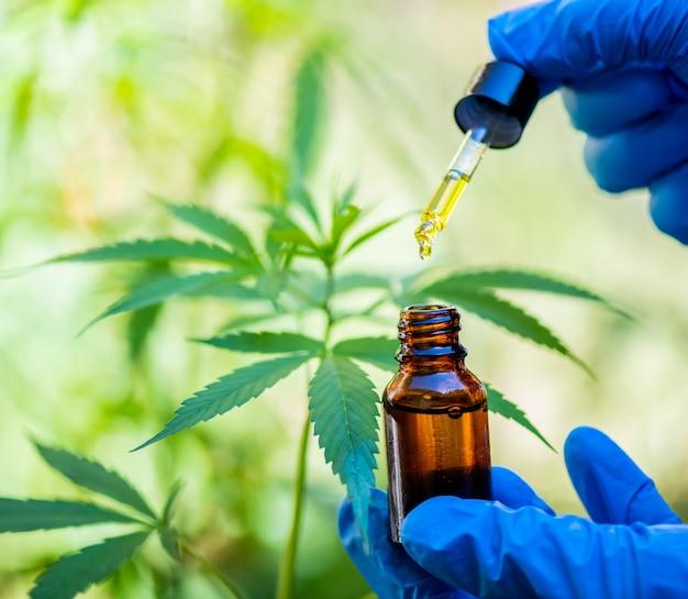 Les chercheurs étudient la croissance des plantes de cannabis, augmentant ainsi l'efficacité de l'extraction médicale.