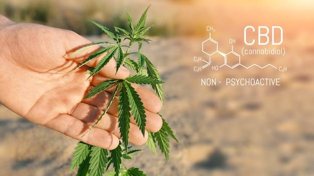 Les chercheurs utilisent la main pour tenir ou examiner les plants de cannabis dans la serre à des fins de recherche médicale. concept de recherche sur la marijuana sativa. huile de cbd, phytothérapie