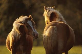 Cheval animal chevaux