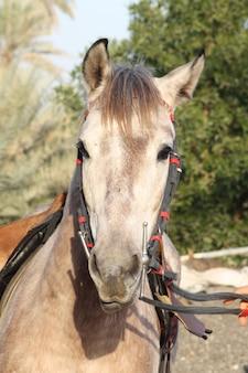 Le cheval arabe est une race de cheval originaire de la péninsule arabique