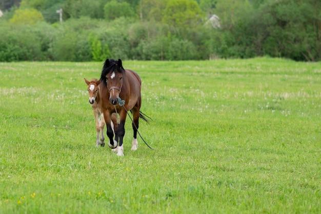 Un cheval bai avec un poulain dans un champ sur un pâturage. photo de haute qualité