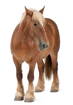 Cheval belge, cheval lourd belge, brabancon, un cheval de trait se reproduisant sur blanc isolé