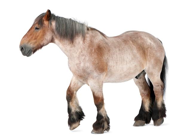 Cheval belge, cheval lourd belge, brabancon, une race de cheval de trait, 16 ans, debout sur blanc isolé
