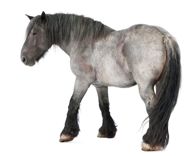 Cheval belge, cheval lourd belge, brabancon, une race de cheval de trait, debout sur blanc isolé