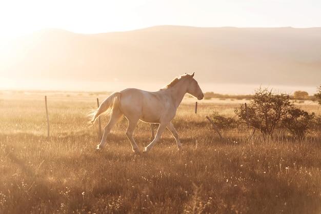 Cheval blanc au pâturage au coucher du soleil.