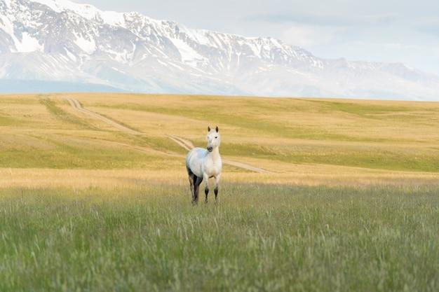 Un cheval blanc broute sur une pelouse dans les montagnes. belle mustang blanche