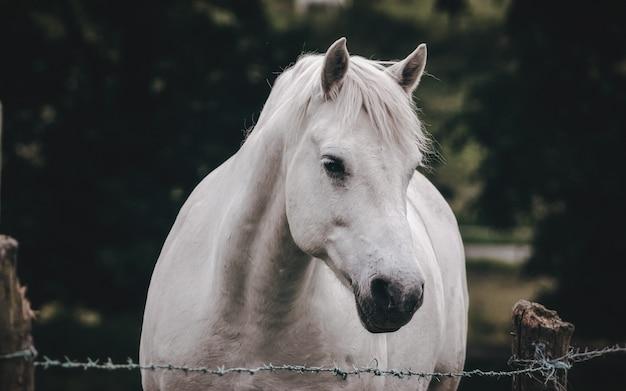 Cheval blanc à la ferme