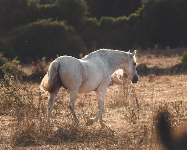 Cheval blanc marchant au coucher du soleil