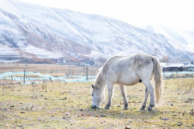 Cheval blanc et montagne de neige