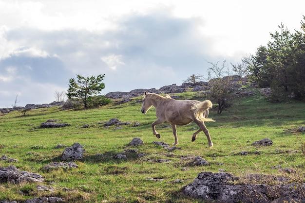 Cheval blanc sauvage dans les montagnes