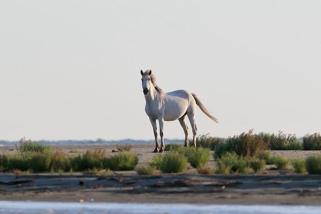 Un cheval blanc sauvage se dresse sur un banc de sable au bord de la mer noire