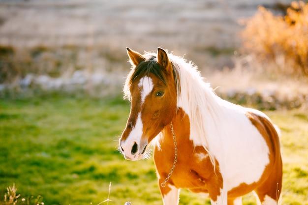 Un cheval blanc se promène dans un pré dans la lumière du coucher du soleil