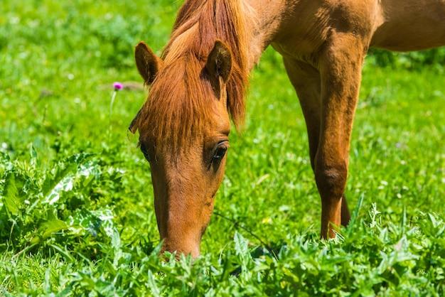 Le cheval broute sur le pré vert