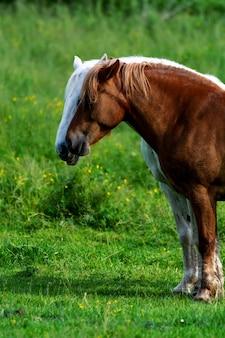 Cheval brun et blanc broute dans le pré