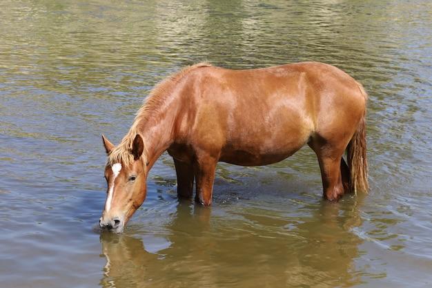 Un cheval brun boit de l'eau d'une rivière