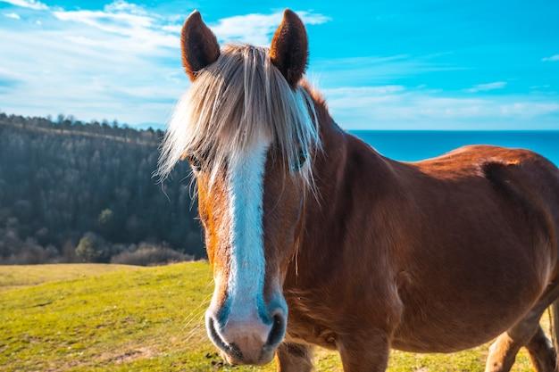 Un cheval brun et des cheveux blonds libres du mont jaizkibel marchant près de saint-sébastien, gipuzkoa. une jeune femme avec un cheval gratuit de la montagne de jaizkibel près de saint-sébastien, gipuzkoa. espagne