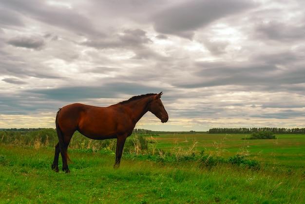 Un cheval brun foncé se dresse sur un pré vert