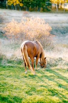 Un cheval brun sur fond de forêt d'automne au soleil doré