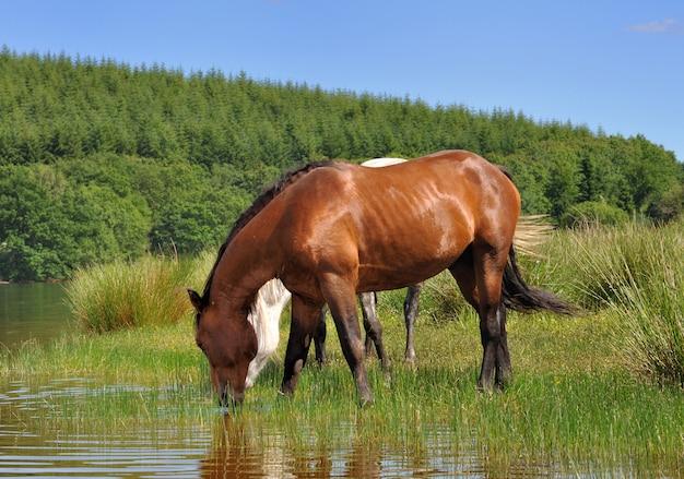 Cheval buvant dans un lac