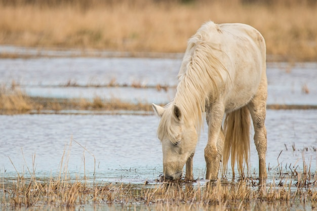 Cheval de la camargue dans le parc naturel des marais d'ampurdán, gérone, catalogne, espagne