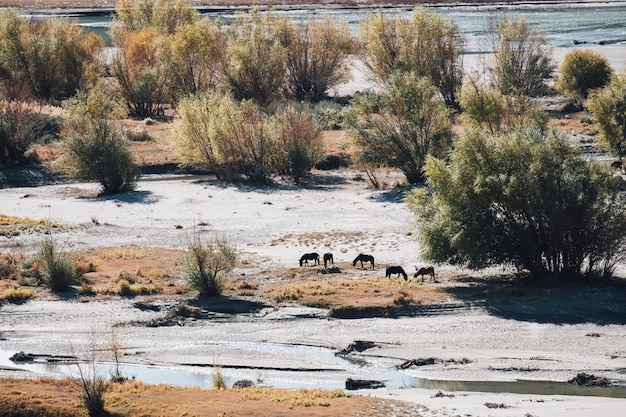 Cheval dans le champ de sable à leh ladakh, inde