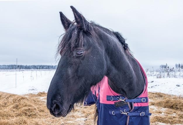 Cheval dans une couverture se dresse dans un enclos avec du foin en hiver