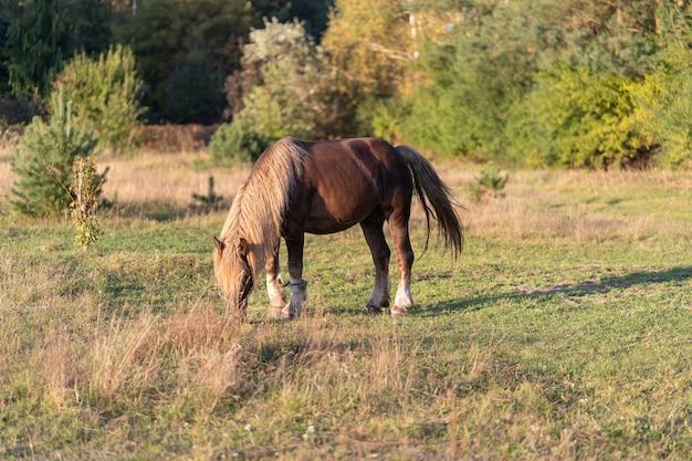 Un cheval domestique broute et mange de l'herbe dans un pré près de la forêt par une claire journée d'été
