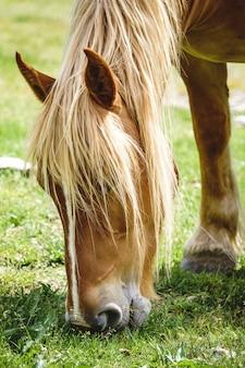 Cheval gratuit dans les pyrénées mangeant de l'herbe