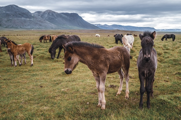 Cheval Islandais Dans La Nature Pittoresque De L'islande. Photo Premium