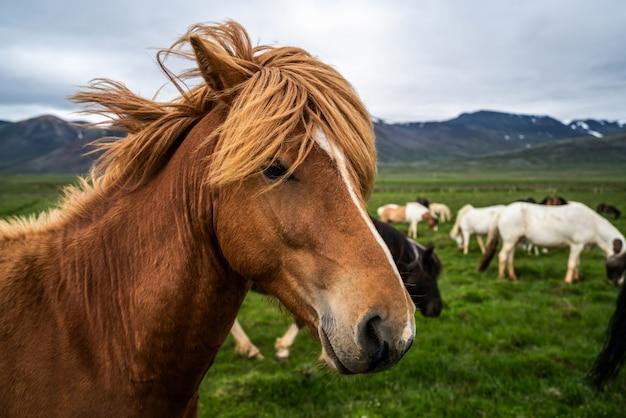 Cheval islandais dans la nature pittoresque de l'islande.
