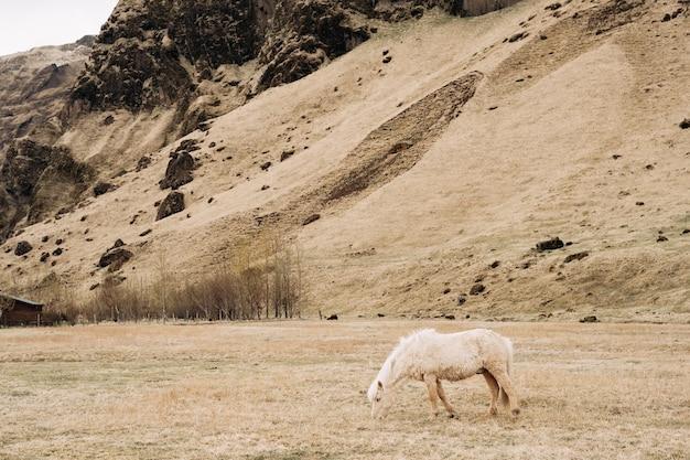 Le cheval islandais est une race de cheval cultivé en islande un cheval crème avec une crinière blanche broute sur un