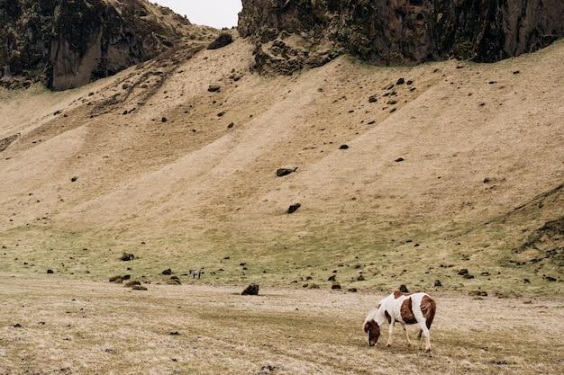 Le cheval islandais est une race de cheval cultivée en islande, un cheval brun blanc tacheté mange du jaune