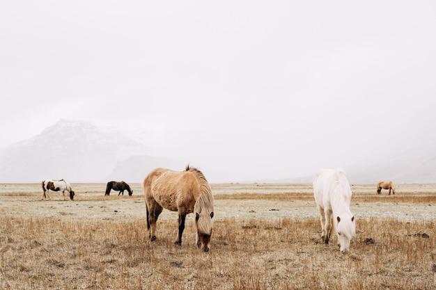 Le cheval islandais est une race de cheval cultivée en islande les chevaux sur le terrain grignotent un