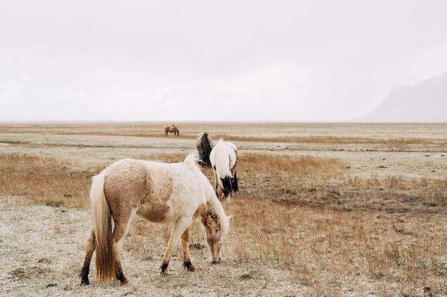 Le cheval islandais est une race de cheval cultivée en islande en gros plan d'un cheval crème contre le