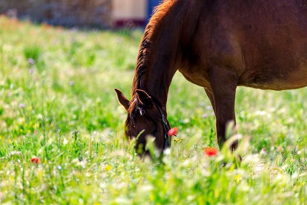 Cheval noir broutant au printemps dans le pré