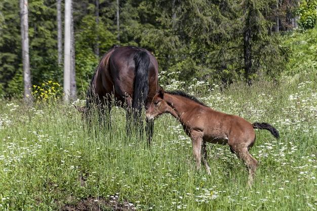 Cheval et poulain se nourrissant d'herbe dans un pré vert